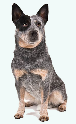Australian Cattle Dog DNA tests