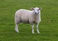 Genetic Diseases in Sheep