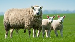 Identity and Parenting in Sheep