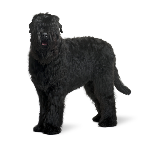 Russian Black Terrier ( RBT )